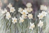 The power of daffodils. Floristic photo wallpaper